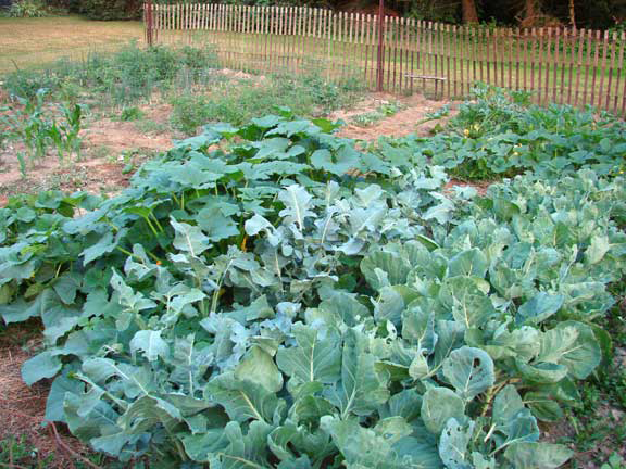 AbbeyH2 broccoli beautiful garden gardening