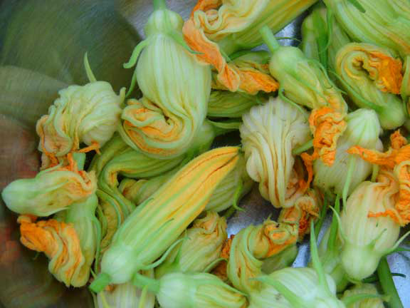 AbbeyH1 zucchini blooms garden gardening