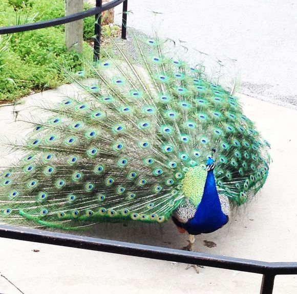 May peacock at the zoo 2