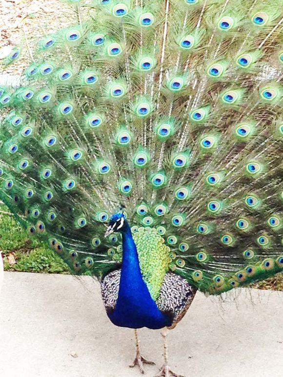 May peacock at the zoo 2